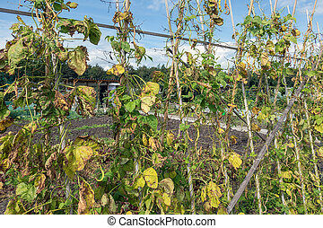 Allotment garden in autumn with wilted bean stakes - Dutch ...