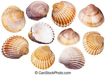 almeja, conchas, aislado, molusco, conjunto, blanco