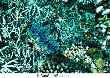 almeja gigante, gigas)at, coral, tropical, arrecife,...