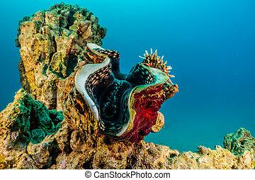 almeja gigante, mar rojo