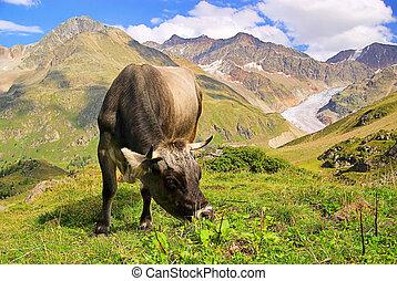 Almkuh - alp cow 21