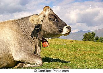 Almkuh - alp cow 25