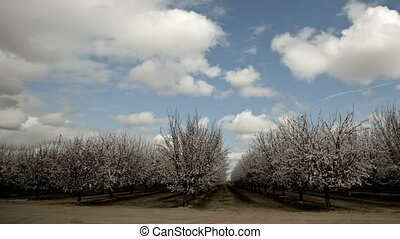 Almond Blooming Trees