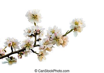 Almond Branch on Bloom