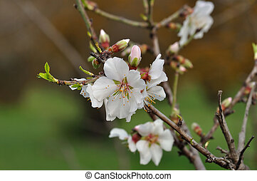 almond buds and flowers spring nature