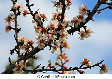 Almond flowering - Almond tree flowering in Mallorca with...