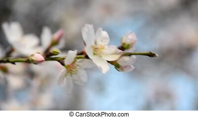 Almond flowers on a branch