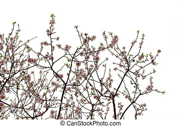 almond flowers spring