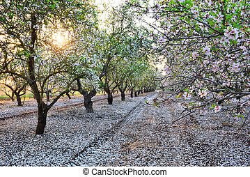 Almond garden in fading sun beams