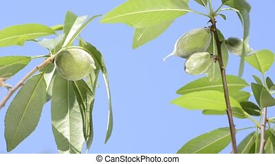 Almond immature fruit - Branch of almond tree with immature...