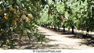 Almond Grove in California