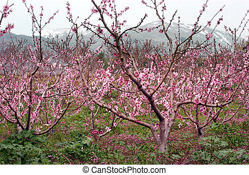 Almond Orchard and Mt Hermon in Spring, Israel.