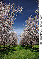 Almond Orchard In Bloom Under Springtime Skies