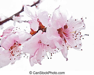 almond pink flowers immersed in light