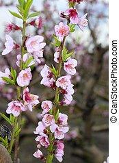 almond spring flowers on tree branch