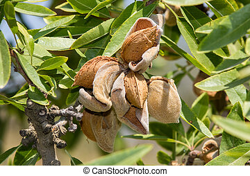 almond tree - almonds still on the tree ready to be ...