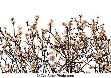 almond tree branches with flowers