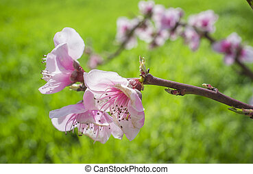 Almond tree flowers blossoming in springtime