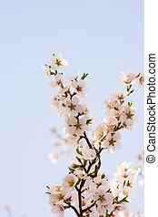 Almond tree flowers in spring.