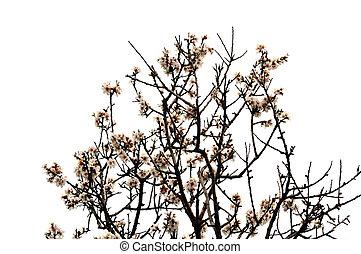 almond tree flowers spring season