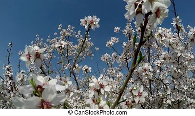 Almond tree in bloom against the background of blue sky. Shooting video with a crane operator