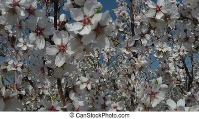 Almond tree in bloom against the background of mountains. Shooting video with a crane operator