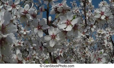 Almond tree in bloom against the background of mountains....