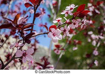 Almond tree in bloom with flowers