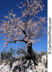 Almond tree in full bloom, Alicante, Spain