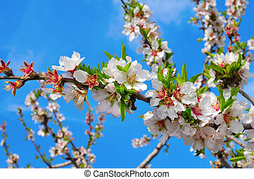 almond tree in full bloom