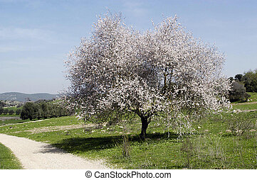 Almond Tree Landscape - A almond tree in a green field with...