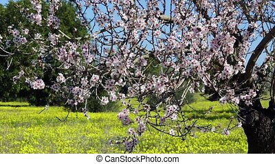 Almond trees bloomed in the spring. Portugal Algarve. -...