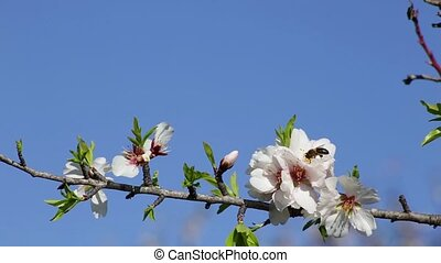 Almond trees bloomed in the spring. Portugal Algarve.