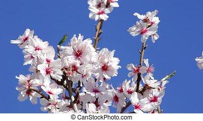 Almond trees bloomed in the spring. Portugal Algarve.