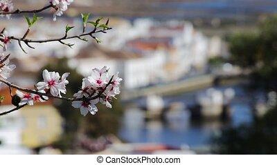 Almond trees bloomed in the spring. Portugal Algarve Tavira...