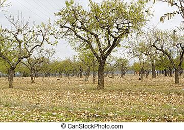 Almond trees in autumn
