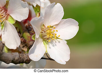 Almond white flowers with the soft background