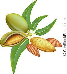 almonds., filial, med, bladen, och, fruits.