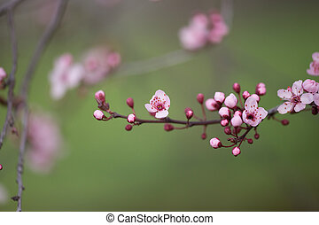 almonds tree flowes on a twing bee blured background in spring season day