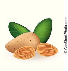 Almonds, vector illustration