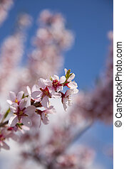 Almonds with its flower