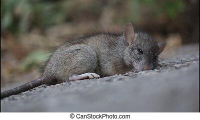 Almost dead rat, poisoned, dark