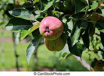 Almost ripe apple with red blush on branch with leaves
