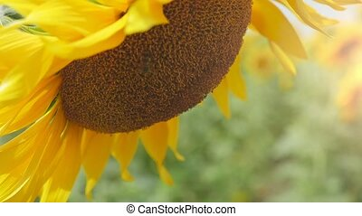 Almost ripe sunflower with a bent head on an agro field in...