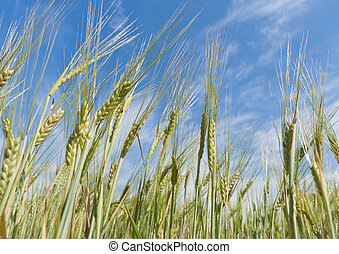 ripe wheat - almost ripe wheat against a blue sky