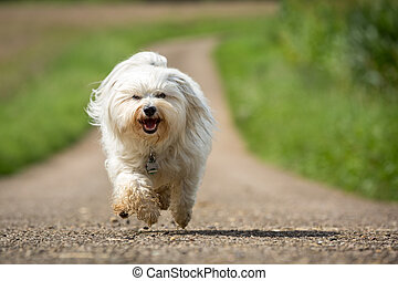 Almost there - Small white Havanese runs quickly toward the...