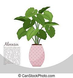 alocasia, 屋内 植物, 中に, ポット, 旗