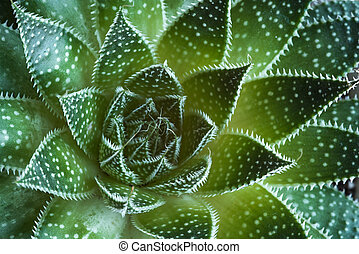 Aloe aristata Succulent  Plant abstract details