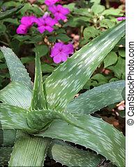Aloe in Garden