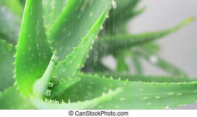 Aloe leaf in the rain